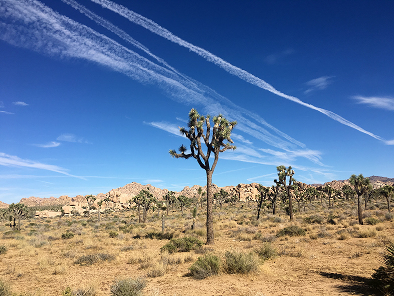 Joshua Trees in the California desert. (Photo by Nick Rufca) Happier Place