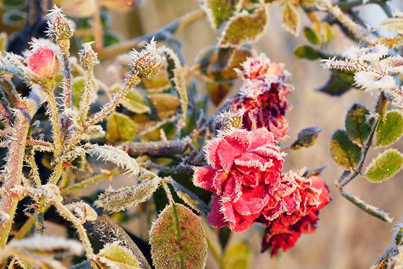 Frozen Rose, Germany - Featured in the 2018 Happier Place Calendar