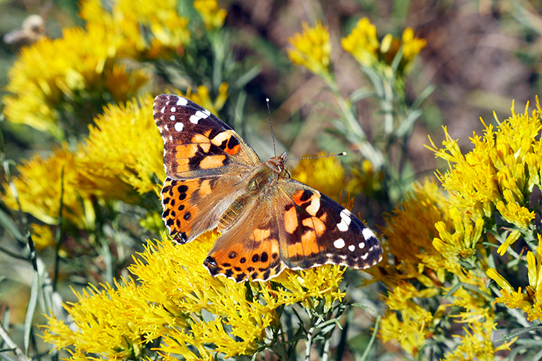 Painted Lady Butterfly in Colorado - 2018 Happier Place Calendar