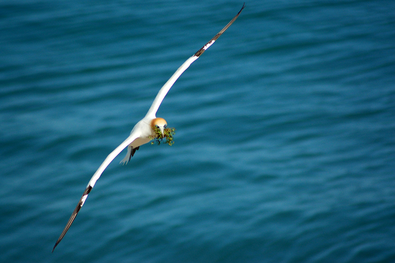 Gannet Flying Right At You (Photograph by Maire Thompson) - Happier Place