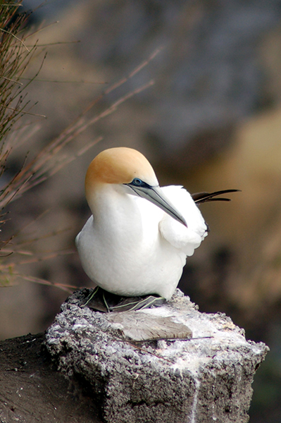 Gannet (Photo by Maire Thompson) - Happier Place
