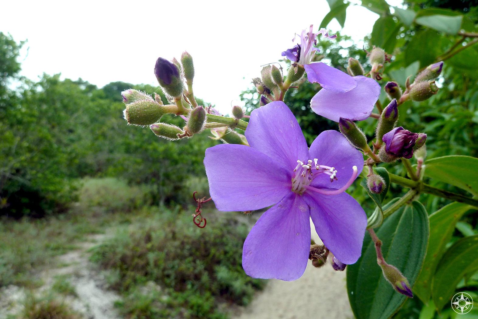 Purple wildflower on island Ilha Grande, Brazil.
