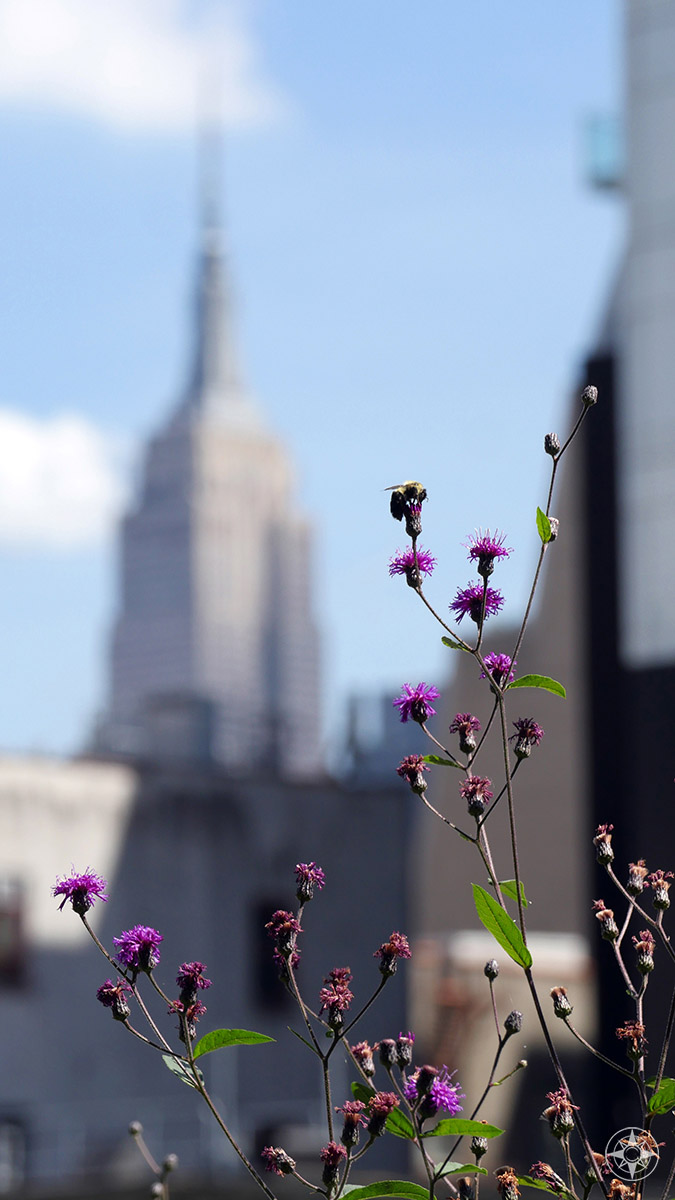 Empire State Building, purple flowers and bee on the High Line.