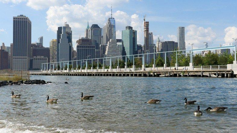 Geese swimming off the beach between the piers in Brooklyn Bridge Park.