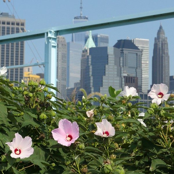 Take your mind off the big city and focus in on the natural beauty of the flowers in Brooklyn Bridge Park.