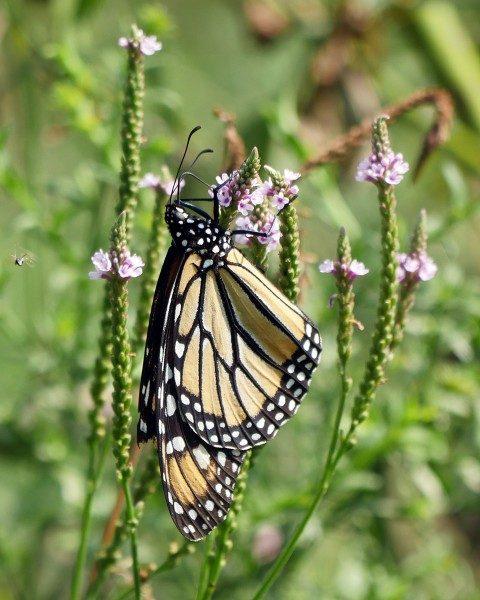 Monarch butterfly hanging in Brooklyn - on Pier 6.