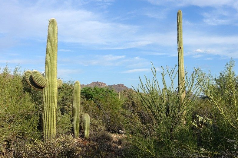 Iconic Saguaro cacti with and without arms in Saguaro National Park.