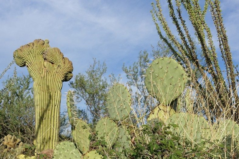Crested Saguaro, Prickly Pear Cacti and Ocotillo in Saguaro National Park, Arizona.