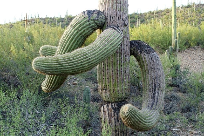 Funny cactus looks like elephant trunk and tusks.