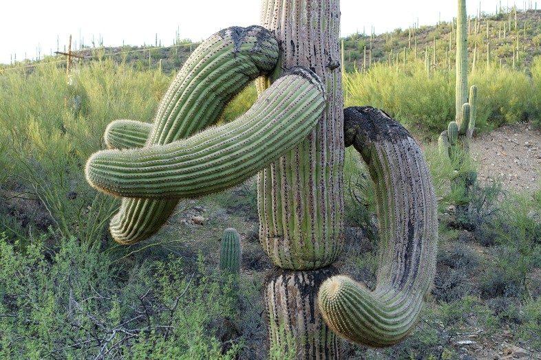 Funny cactus looks like elephant trunk and tusks.