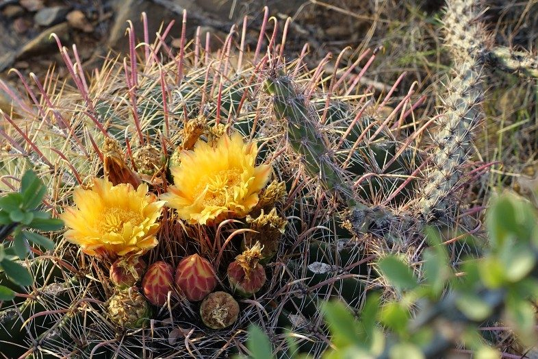 Various stages of yellow bloom on a Fishhook Barrel Cactus in autumn.