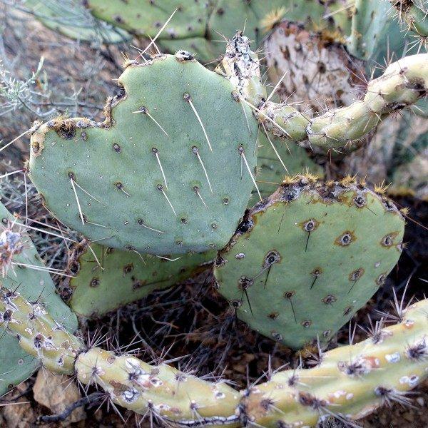 Heart-shaped cactus in Saguaro National Park.