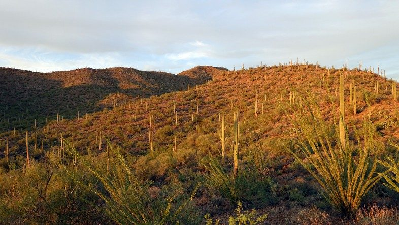 Golden Hour at Saguaro Park where countless Saguaro Cacti spread across the hills and valleys.