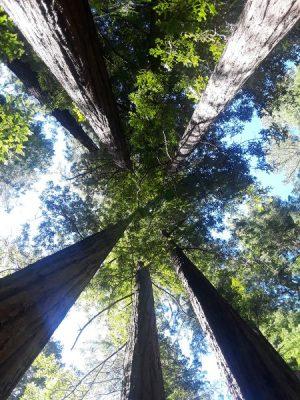 redwood trees in California from below