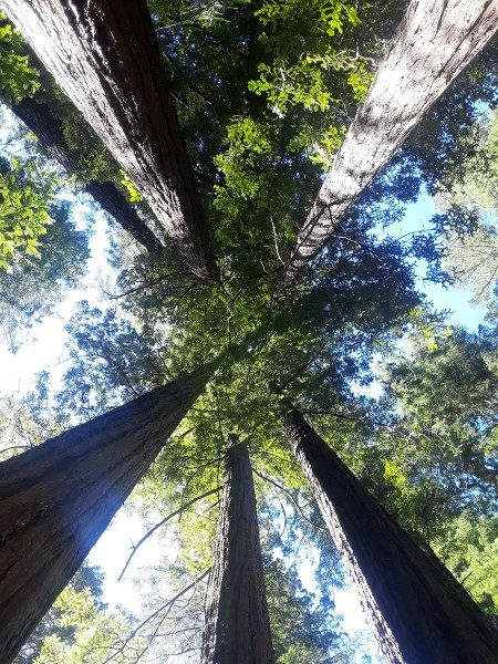 redwood trees in California from below