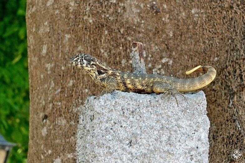 Cuban Lizard