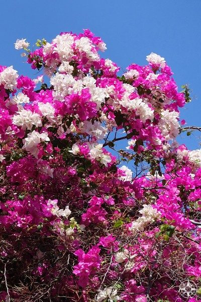 Pink and white bougainvillea in Cuba.