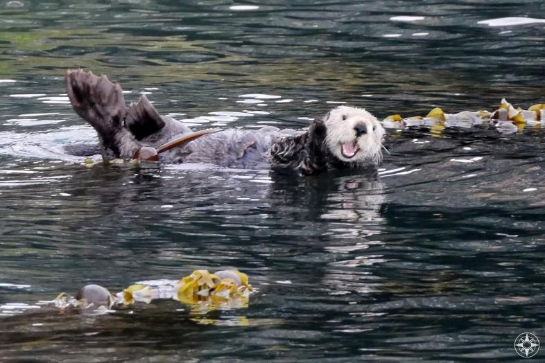 Alaska Sea Otter Happier Place On Sale