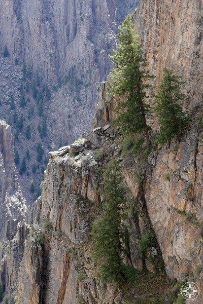 Evergreen trees growing on the cliff wall of the Black Canyon in Colorado