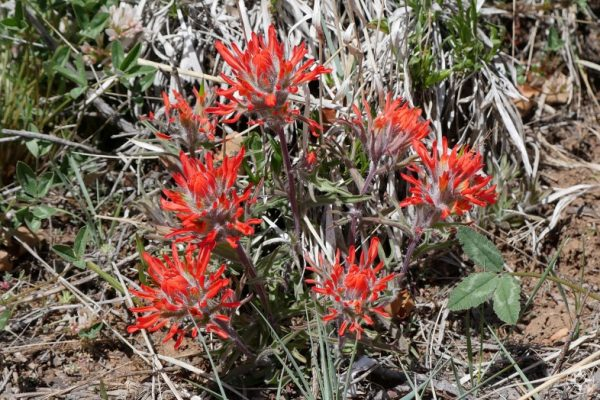 Indian Paintbrush - a red wildflower common along the Colorado Plateau
