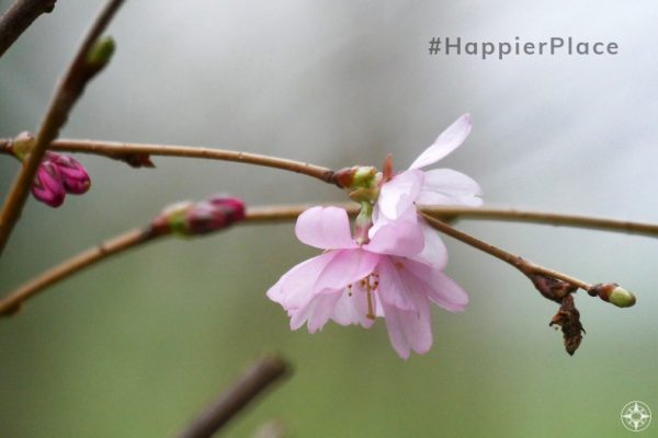 Almond tree pink spring blossom #happierplace hashtag April