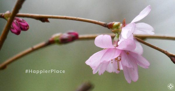 April round-up of our favorite #HappierPlace photos on #Instagram! Represented here by pink spring blossoms of an almond tree in Germany.
