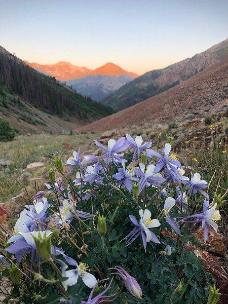 Colorado State Flower Wild Columbine - Redcloud Peak - Colorado