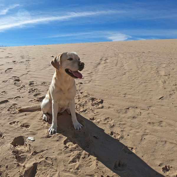 Yellow lab on sand dune in New Mexico.