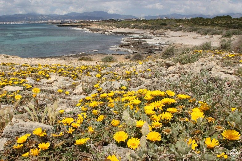 Yellow wildflowers along a beach on Mallorca, Balearic Islands, Spain.