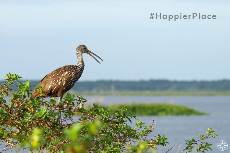 Limpkin Crying Bird Paynes Prairie Florida HappierPlace