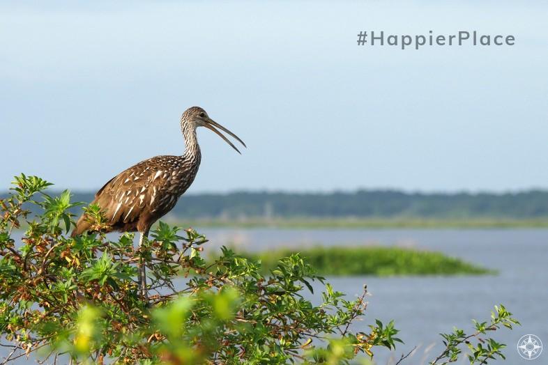 Limpkin Crying Bird Paynes Prairie Florida HappierPlace