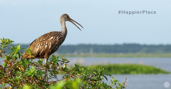 Limpkin in its #HappierPlace Crying Bird Florida