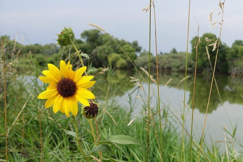 Wild sunflower at a pond in Colorado