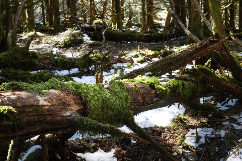 snow and moss covered fallen tree along Appalachian Trail Smoky Mountains