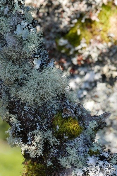 A variety of lichen and moss covering a tree in North Carolina smoky mountains