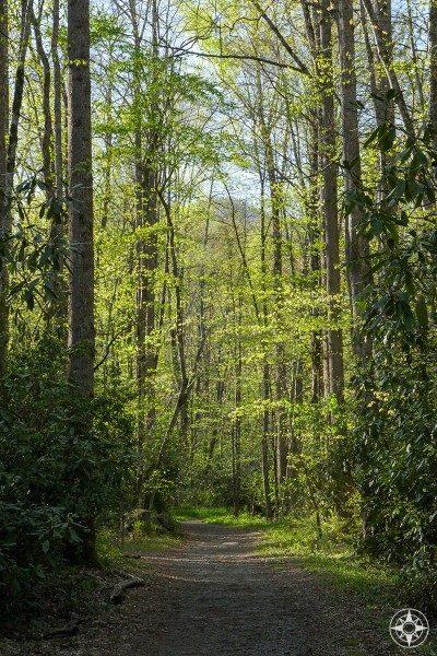 Sun-dappled trail through tall springtime forest smoky mountains