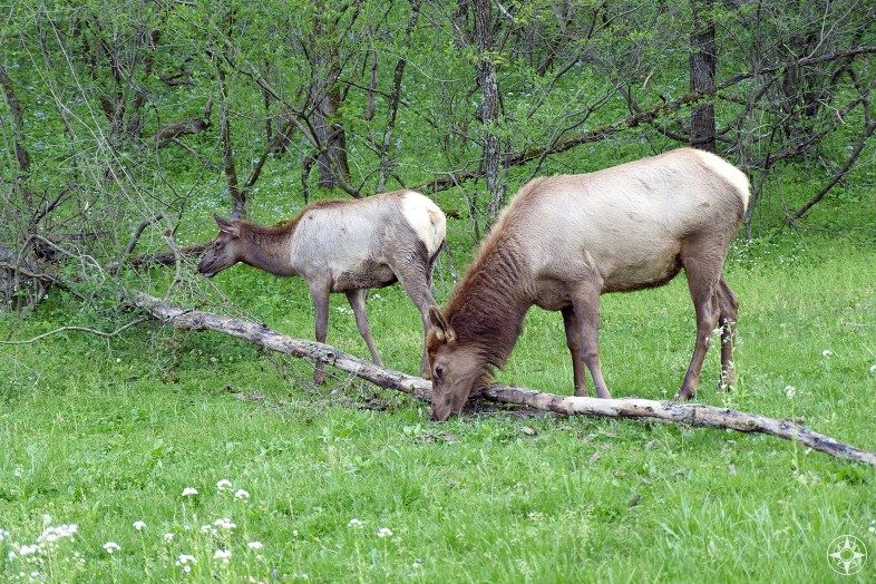 Elk (wapiti) mother and her young grazing in the National Park.