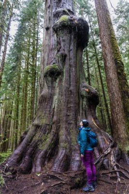 Big tree in Avatar Grove Vancouver Island
