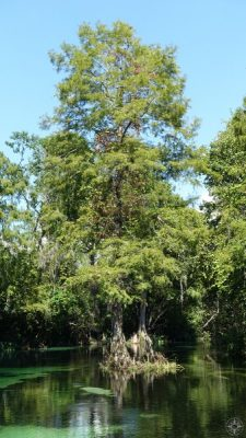 Cypress trees in the Florida river