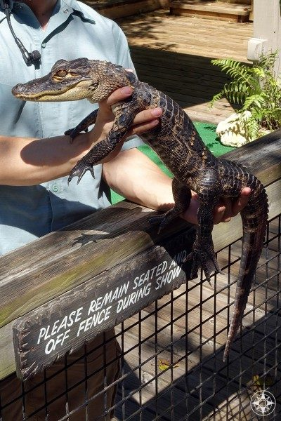 Baby alligator at Florida wildlife show