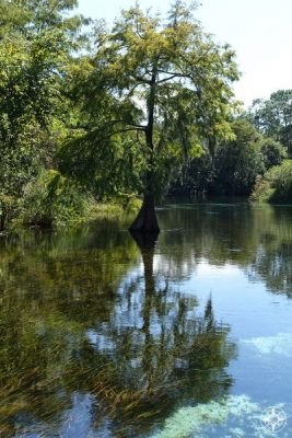 Cypress Tree in the Weeki Wachee River