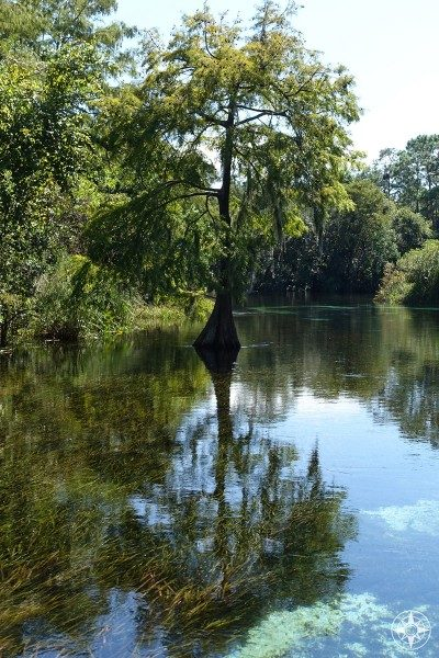 Cypress Tree in the Weeki Wachee River