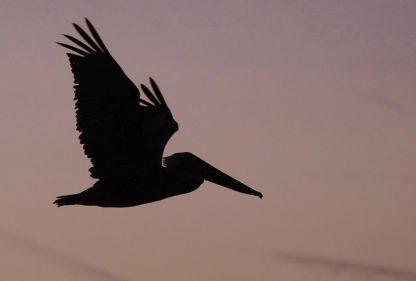 brown pelican in flight silhouette, sunset, dusk, postcard