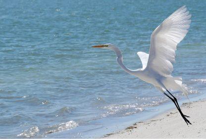 Great White Egret takes off, flight, beach, Florida, postcard