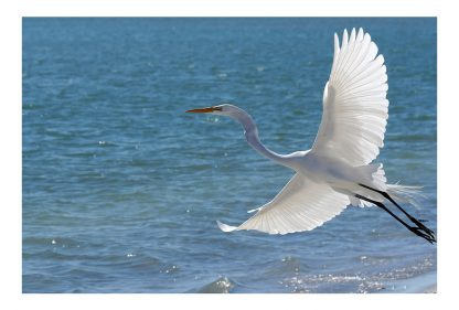 Great White Egret, wings spread wide, take off, postcard