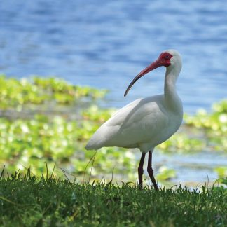 white ibis, lake, taylor park, florida