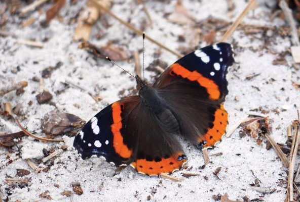 Red Admiral butterfly, sand, beach, Florida, postcard