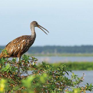 Limpkin, cry bird, Gainesville, Florida, postcard