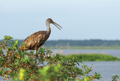 Limpkin, cry bird, Gainesville, Florida, postcard