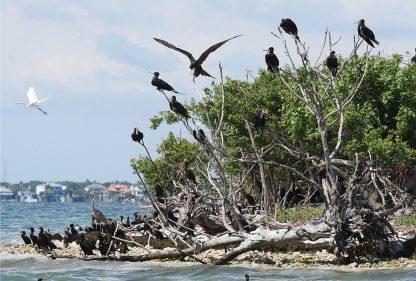 Frigate Birds, cormorants, heron, egret, island, st. joseph sound, clearwater, florida, postcard